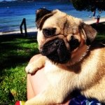 @mrbiscuitthepug's profile picture on influence.co