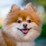 @justpomeranians's profile picture
