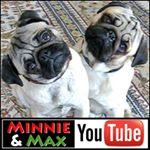 @minniemaxpugs's profile picture on influence.co