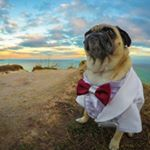 @atomthepug's profile picture on influence.co