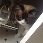 @myles_himalayan_cat's profile picture on influence.co