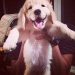 @happy_golden_dogs's profile picture on influence.co