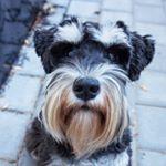 @oskar_the_mini_schnauzer's profile picture on influence.co