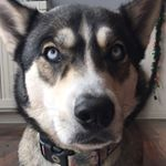 @meela_the_husky's profile picture on influence.co