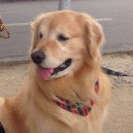 @thor_goldenretriever's profile picture on influence.co