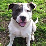 @pitbullsofinstagram's profile picture