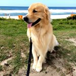 @chico_goldenretriever's profile picture on influence.co