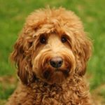 @oliverthegoldendoodle's profile picture on influence.co