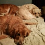@goldenretriever_gal's profile picture on influence.co
