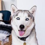 @julietthehusky's profile picture on influence.co