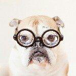 @minibulldogdee's profile picture on influence.co