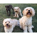 @dallasthecavapoo's profile picture on influence.co