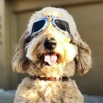 @nelsonthegoldendoodle's profile picture on influence.co