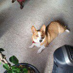 @molly_the_welsh_corgi_'s profile picture on influence.co