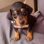 @krause_the_dachshund's profile picture on influence.co