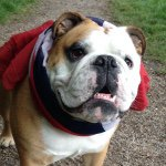 @maxwell_englishbulldog's profile picture on influence.co