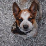 @sirisaac_the_heeler's profile picture on influence.co