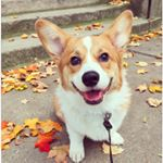 @chief.the.corgi's profile picture on influence.co