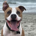 @buster_theamericanpit's profile picture on influence.co