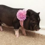 @runty.rooters.mini.pigs's profile picture on influence.co