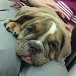 @daisy.the.bulldog's profile picture on influence.co