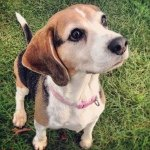 @beagles_of_instagram's profile picture on influence.co