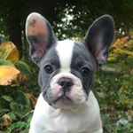 @bagel_the_frenchie's Profile Picture