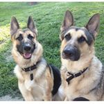 @germanshepherd_thor_zeus's profile picture on influence.co