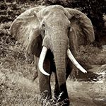 @africansforelephants's profile picture on influence.co