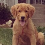 @howardthehandsomegolden's profile picture on influence.co