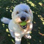 @beauthegoldendoodle's profile picture on influence.co
