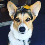 @maxwellthecorgi's profile picture on influence.co