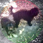 @bella_and_loki_mini_poodles's profile picture on influence.co