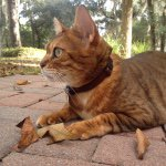 @briggitte_the_bengal's profile picture on influence.co