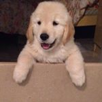 @thoor_goldenretriever's profile picture on influence.co