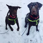 @pete_the_choco_lab's profile picture on influence.co