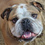 @mr_winston_english_bulldog's profile picture on influence.co