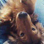 @dachshund_jupiter's Profile Picture