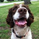 @charlesthespringerspaniel's profile picture on influence.co