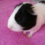 @r.i.p.buddytheguineapig's profile picture on influence.co