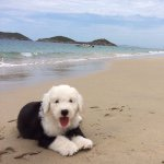 @kia_oldenglishsheepdog's profile picture on influence.co