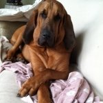 @copper_the_bloodhound's profile picture on influence.co