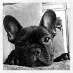 @lilo_thefrenchie_'s profile picture on influence.co