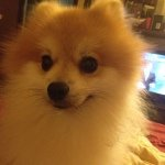 @copper_the_pom's profile picture on influence.co