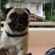 @cartman_the_pug's profile picture on influence.co