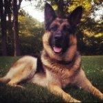 @germanshepherd_jada's profile picture on influence.co