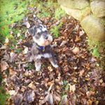 @nico_the_miniature_schnauzer's profile picture on influence.co