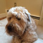 @maggiethewheaten's profile picture on influence.co