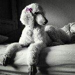 @springerclanstandardpoodles's profile picture on influence.co