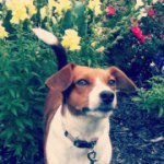 @laniethebeagle's profile picture on influence.co